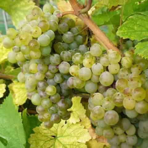 Der Anbau von Weißwein überwiegt in Österreich.